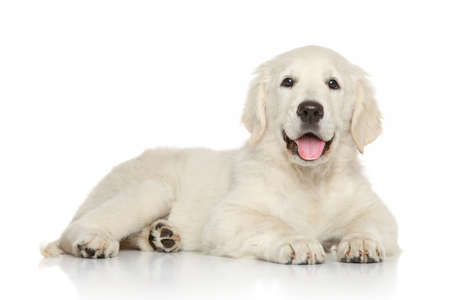 Golden retriever puppy lying on white background