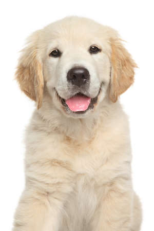Golden Retriever puppy. Close-up portrait on white backgroun