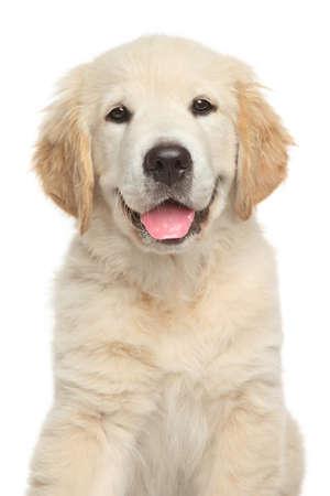 labrador puppy: Golden Retriever puppy. Close-up portrait on white backgroun