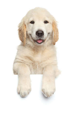 Golden Retriever puppy above banner looking at camera, isolated on white background