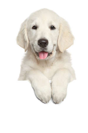 Golden Retriever puppy above white banner looking at camera. isolated on white background