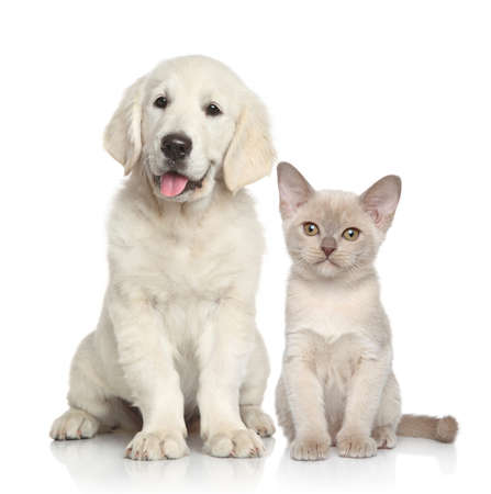 Cat and dog together. Golden Retriever puppy and Burmese kitten on white background