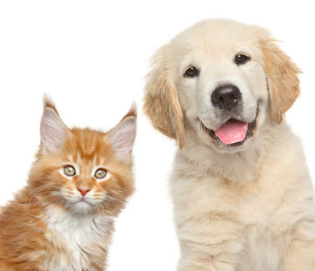 maine cat: Cat and dog. Close-up portrait of Golden Retriever puppy and Maine Coon kitten