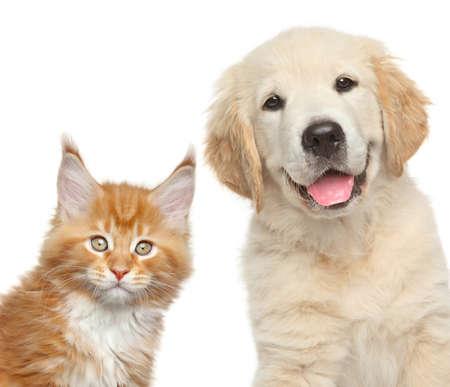 kotów: Kot i pies. Close-up portret szczeniaka Golden Retriever i Maine Coon kitten Zdjęcie Seryjne