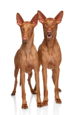 hounds: Two Pharaoh Hounds on white background