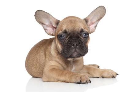 French Bulldog puppy posing on white backgeound photo