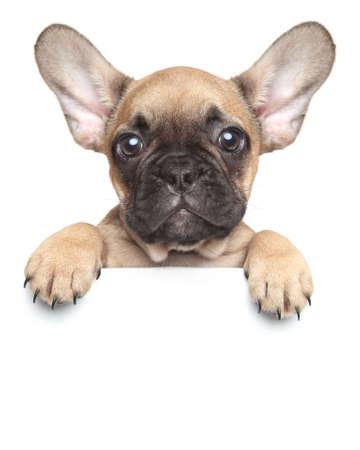Funny Francouzský buldoček štěně nad bílým praporem