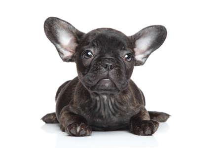 French bulldog puppy on white background photo