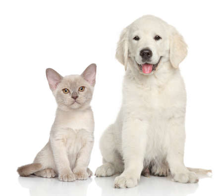 kitten small white: Cat and dog together. Golden Retriever puppy and Burmese kitten sits on white background