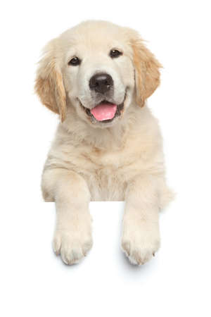 Gelukkig labrador puppy boven banner, geïsoleerd op witte achtergrond Stockfoto