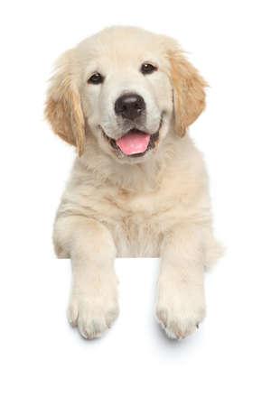 Glückliche Labrador Retriever Welpen über Banner, isoliert auf weißem Hintergrund Standard-Bild
