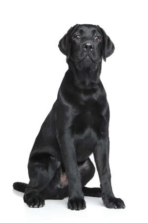 Black labrador puppy posing over white background photo
