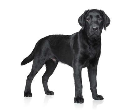 白い背景の上のラブラドール子犬