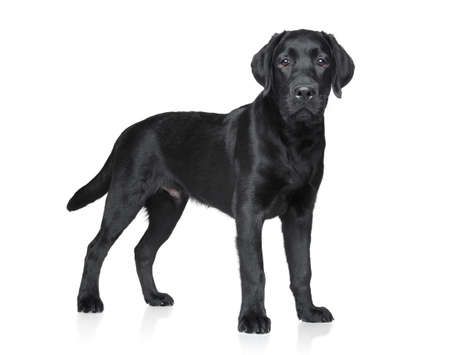 Labrador puppy over white background photo