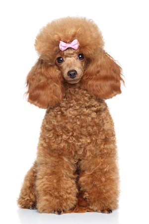 Red Toy Poodle with pink bow sitting on white background