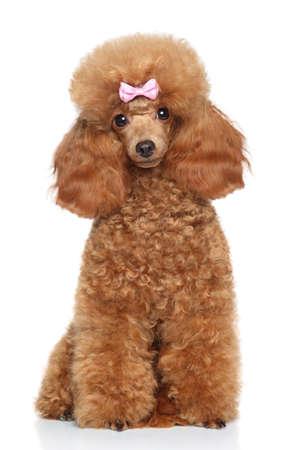 miniature breed: Rojo del caniche de juguete con el arco rosado que se sienta en el fondo blanco Foto de archivo
