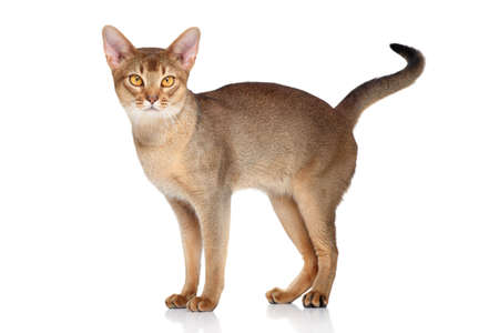 abyssinian cat: Abyssinian cat, standing on a white background Stock Photo