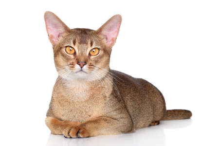 abyssinian cat: Abyssinian cat lying on white background Stock Photo