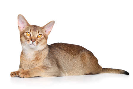 abyssinian cat: Abyssinian cat over white background Stock Photo