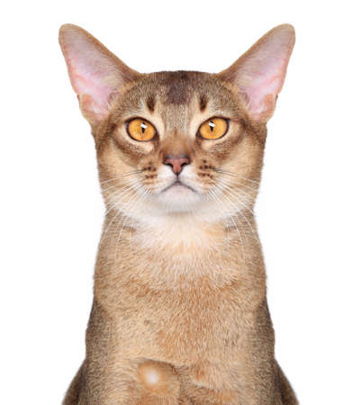 abyssinian cat: Abyssinian cat on isolated white background