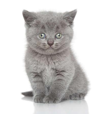 Britisches Kätzchen posieren auf weißem Hintergrund Standard-Bild - 33297617