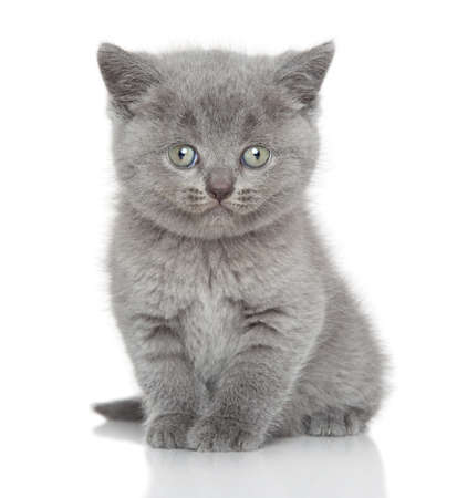 british shorthair: British shorthair kitten posing on a white background