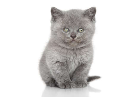 british shorthair: Portrait of British shorthair kitten sits over white background Stock Photo