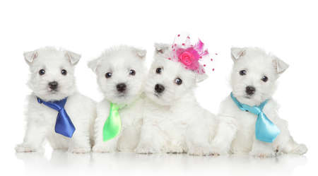 cute westie: Four West Highland White Terrier puppies on white background Stock Photo