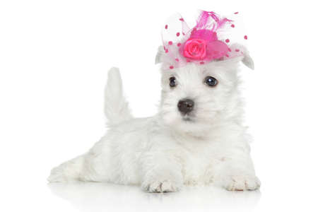 cute westie: West Highland White Terrier puppy in pink hat posing on white background Stock Photo