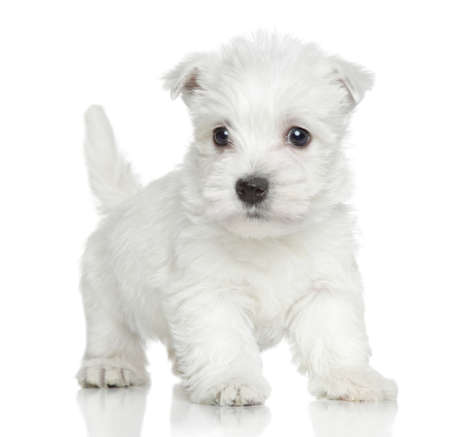 cute westie: West Highland white terrier puppy on white background Stock Photo