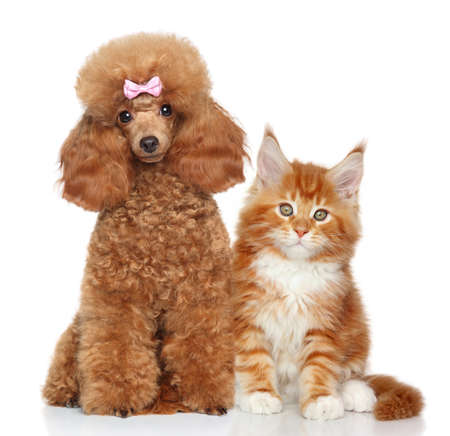 Toy poodle and MaineCoon kitten on white background