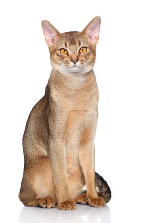 abyssinian cat: Abyssinian cat. Portrait on a white background