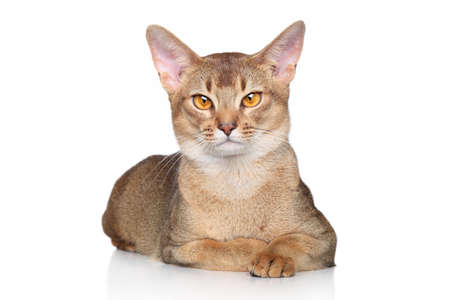 abyssinian cat: Portrait of a Abyssinian cat over white background