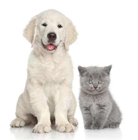 golden retriever puppy: Cat and dog together in front of white background