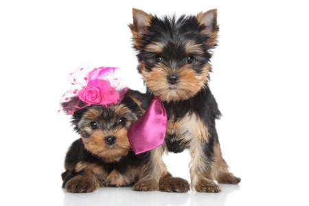 yorky: Yorkshire Terrier lady and gentlemen puppies posing on a white background Stock Photo