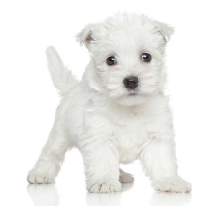 Funny Westy puppy posing on a white background