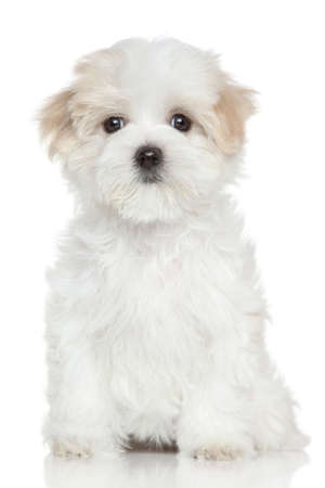 maltese dog: Portrait of a Maltese puppy on white background