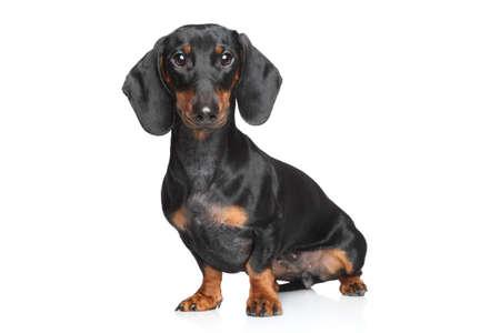 Miniature dachshund posing on white background 스톡 콘텐츠