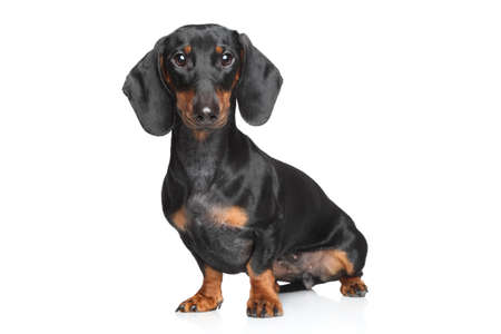 Miniature dachshund posing on white background Stockfoto