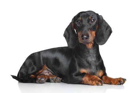 Miniature dachshund lying on white background