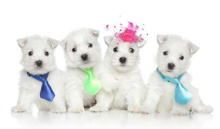 Group of West Highland White Terrier puppies on white background