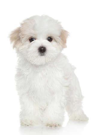 white maltese: Maltese puppy. Portrait on white background Stock Photo