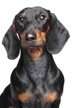 Miniature dachshund. Close-up portrait on isolated, white background