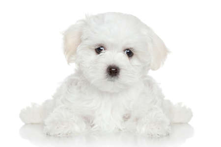 maltese dog: Maltese puppy lying on white background