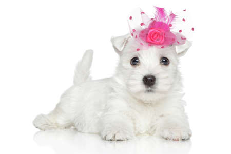 pink hat: White Terrier puppy in pink hat on white background Stock Photo