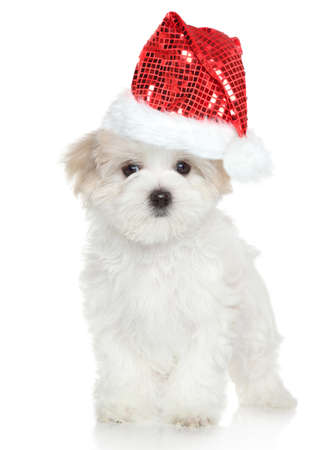 red hat: Maltese puppy in Santa red hat on white background Stock Photo