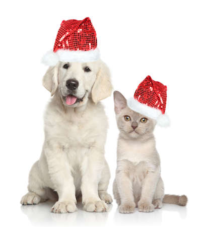 Cat and dog in Santa red hat. Golden Retriever puppy and Burmese kitten on white background