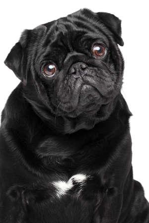 black pug: Black pug. Close-up portrait on isolated white background
