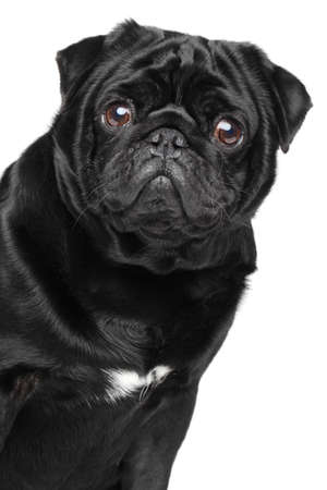 Black pug. Close-up portrait on isolated white background