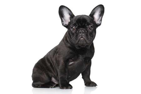 Black French bulldog puppy. Portrait on a white background